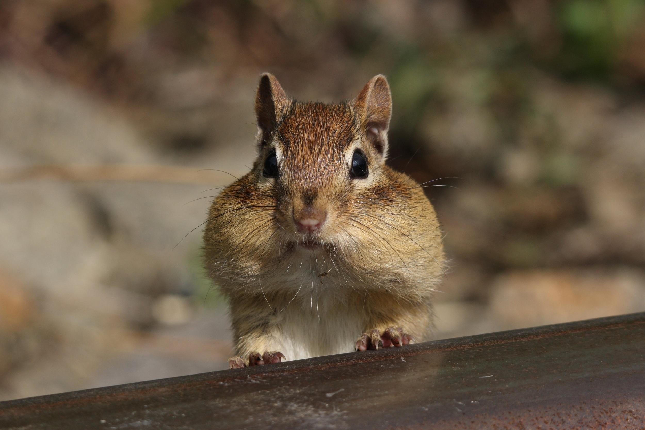 Squirrel with Nut.jpg