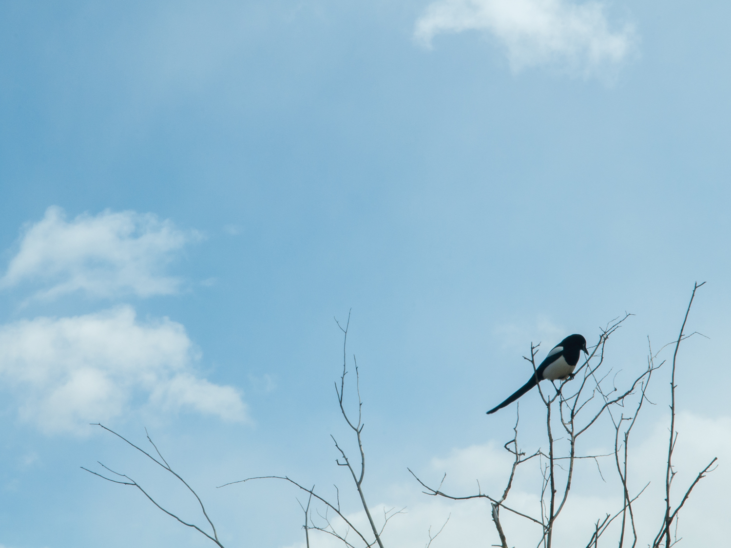 Magpie - Outdoors