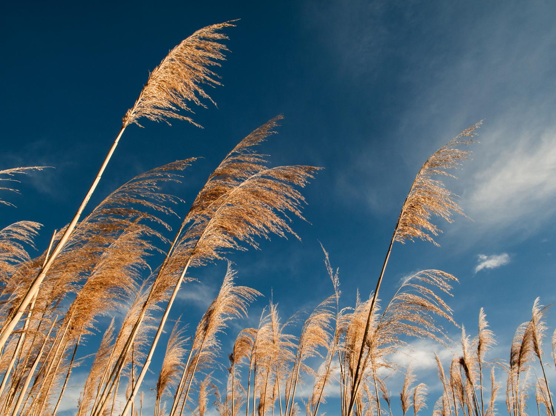 Reeds - Outdoors