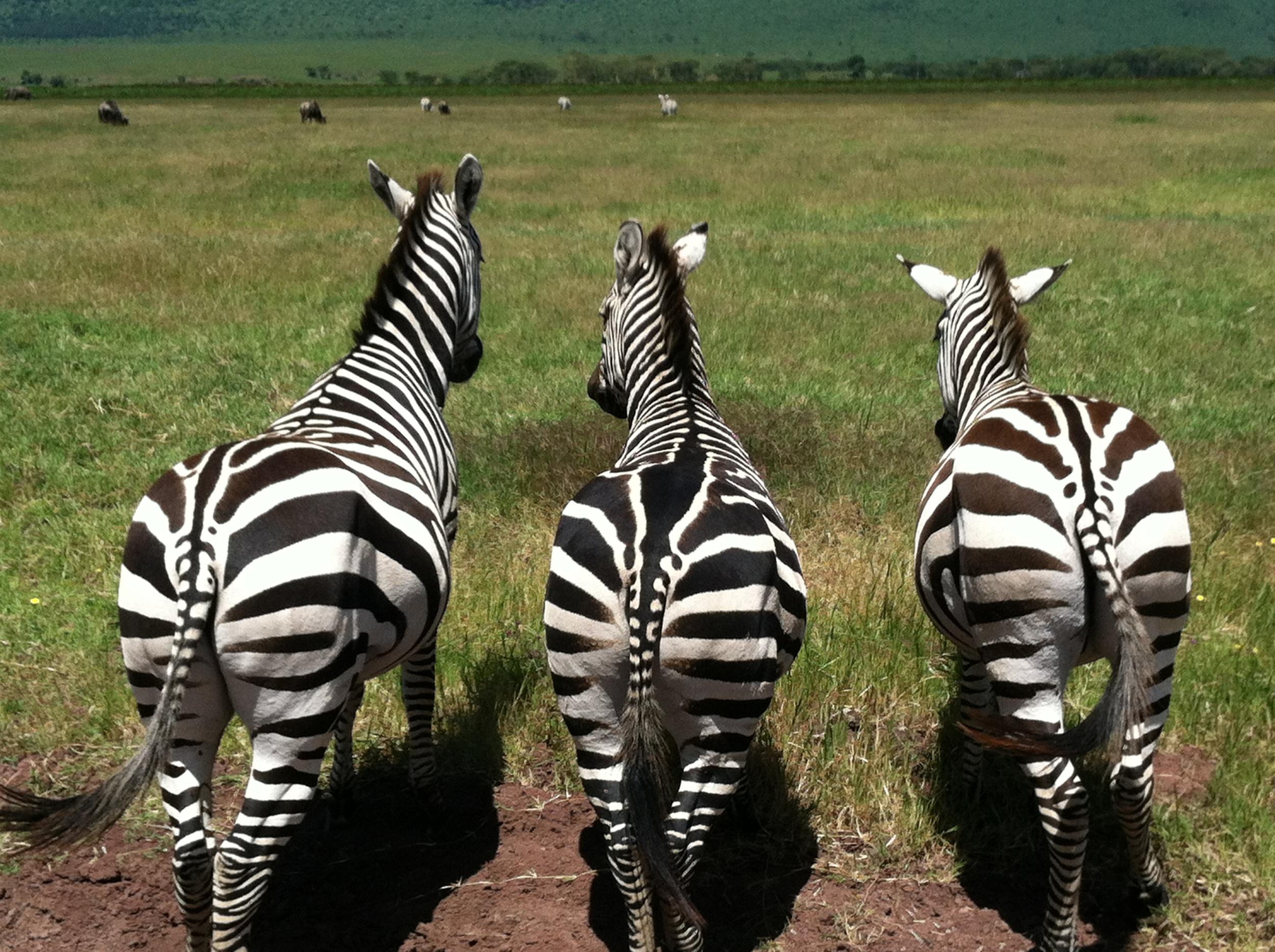 Zebra Butts.JPG