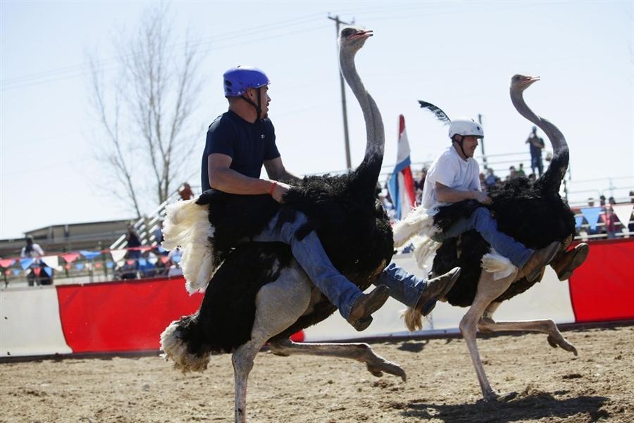 Ostrich Race Nevada Arizona