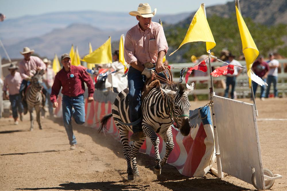 Zebra Racing Nevada Camel Races