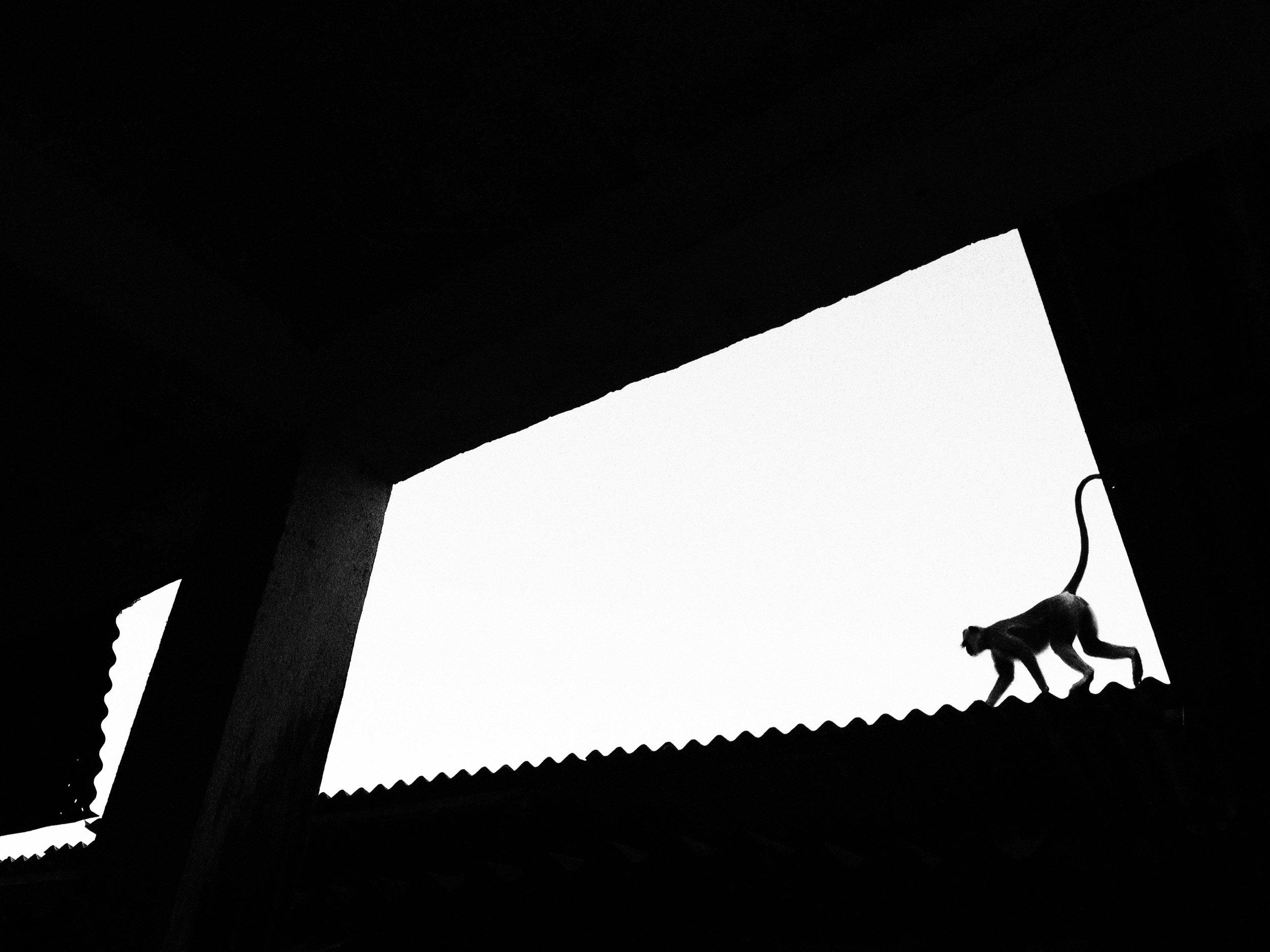 Grey Langur