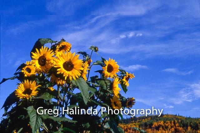 SunflowersAutumnTrees.jpg