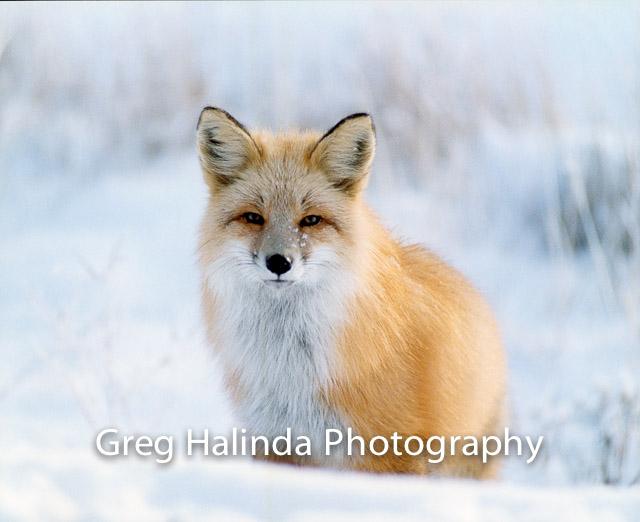 Fox Winter 2002 PrintScan.jpg