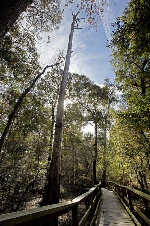 large dead tree along the board walk