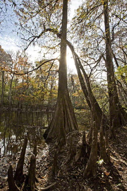 large bald cypress in front of wise lake