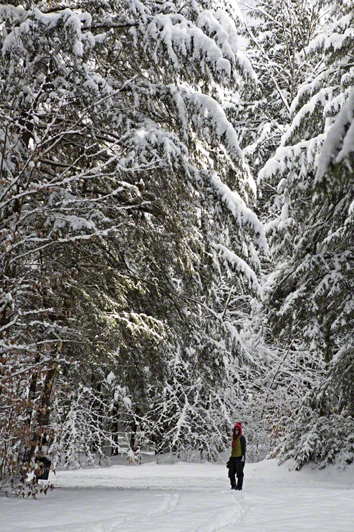 sloane dwarfed by snow covered hemlocks