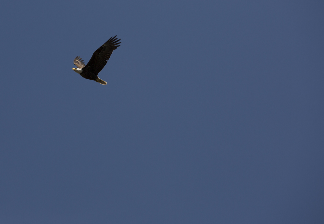 a mature eagle, this place was littered with them