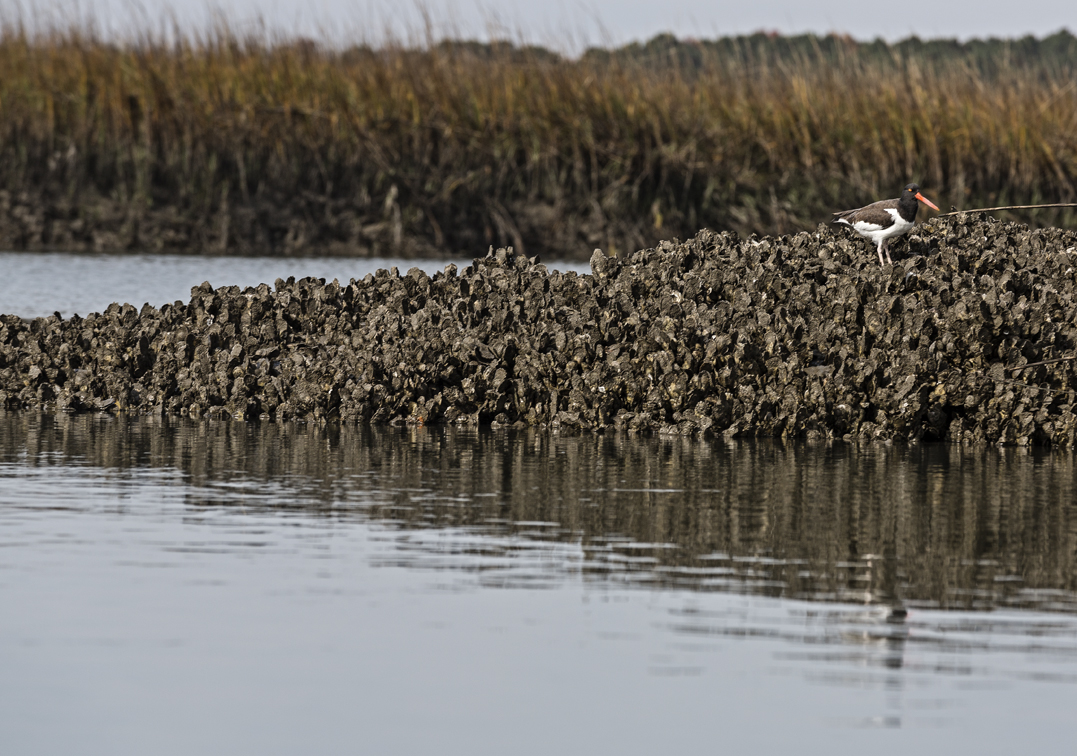 A lone oyster Catcher