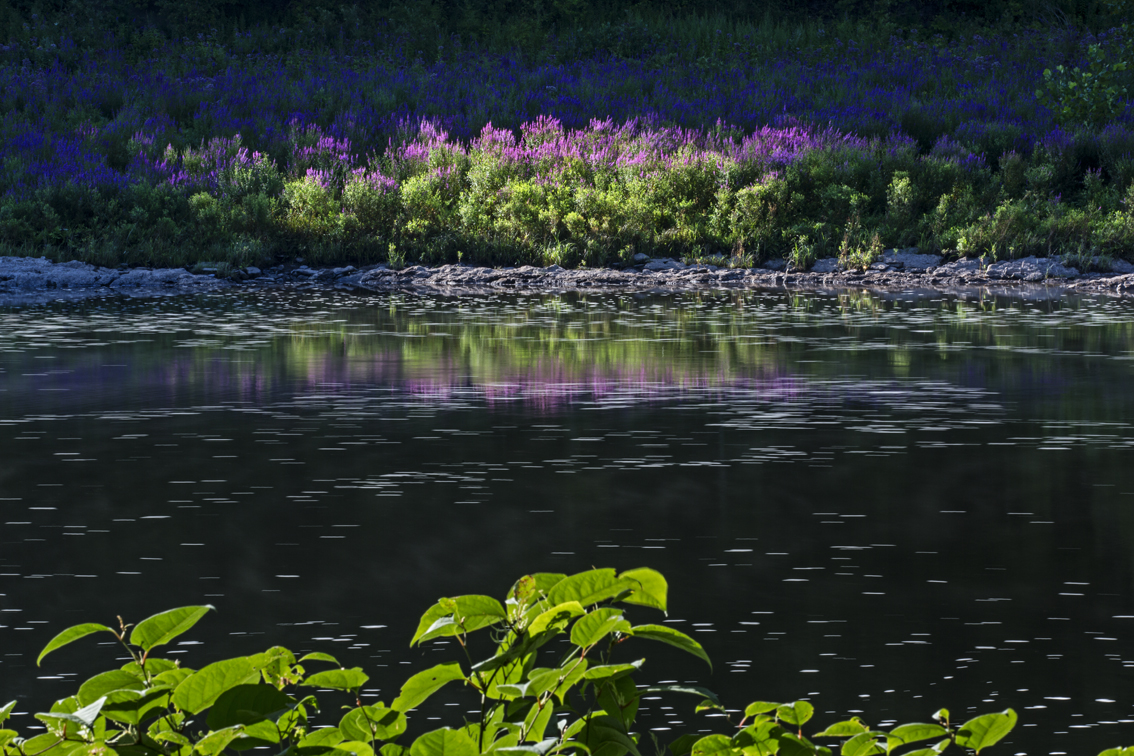 Early morning sun on the river bank, covered with the beautiful, yet invasive, purple loosestrife plant.