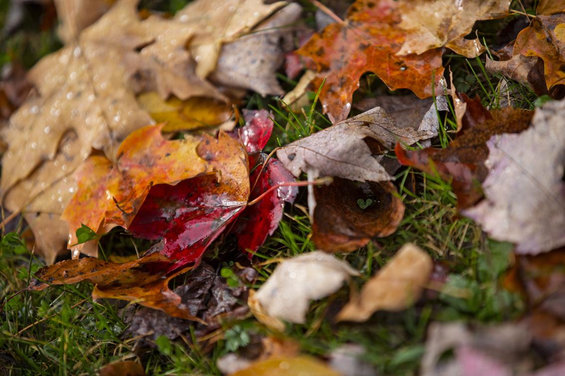 Freshly fallen maple leaves.