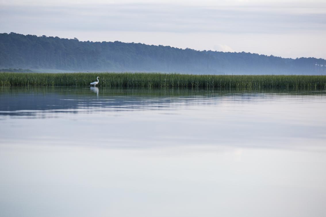A Great Egret stalking breakfast in Mockhorn Bay.