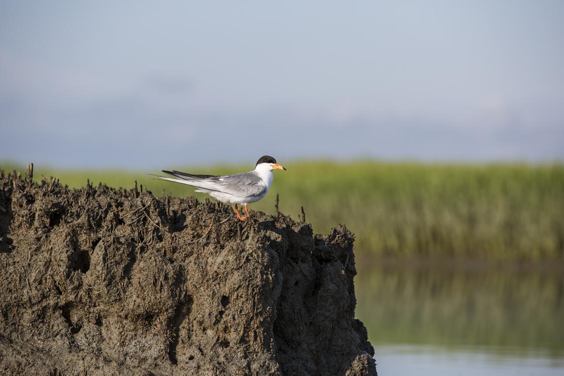 A common tern in Mockhorn Wildlife Refuge
