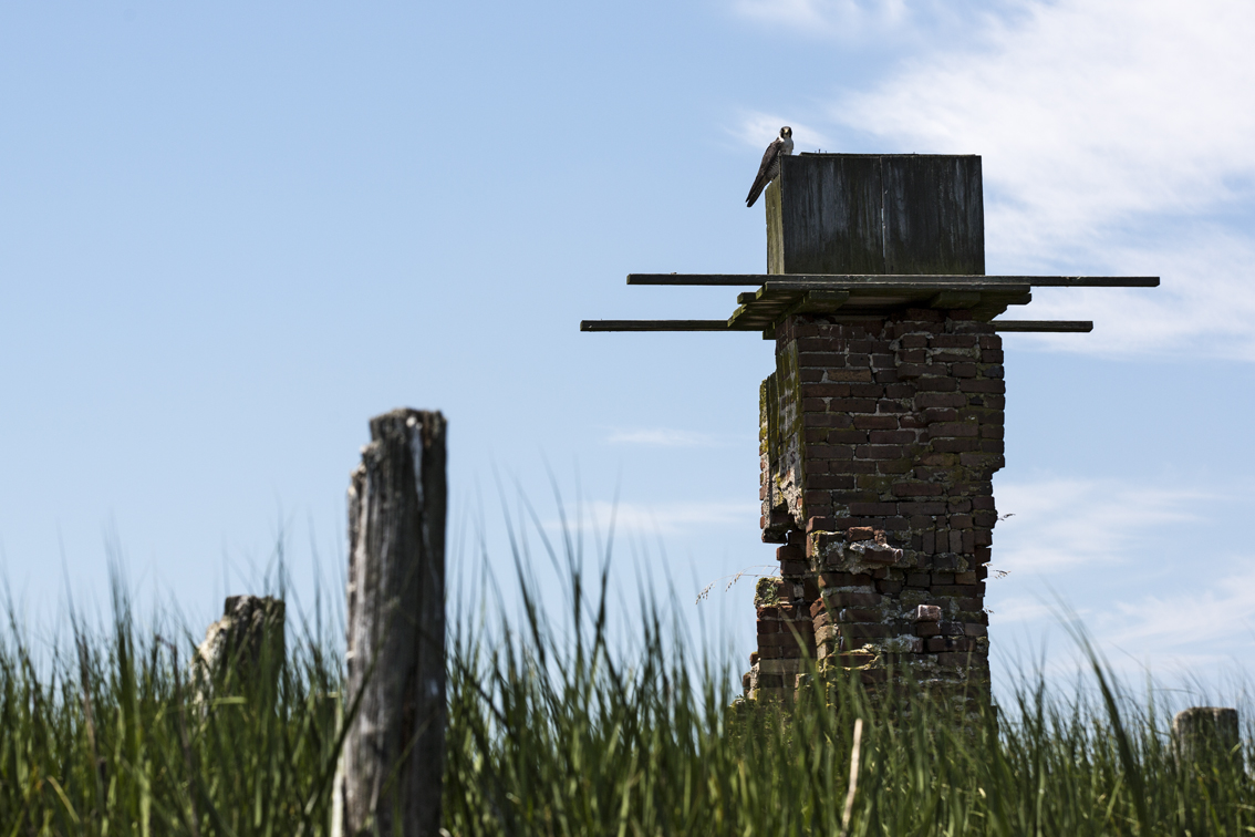 A peregrine falcon protecting it's nesting box, on an old chimney foundation right near Mockhorn Wildlife Refuge.