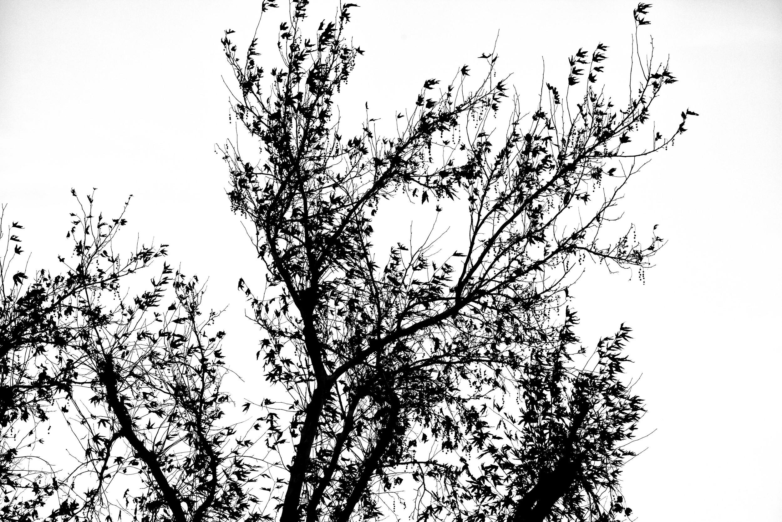 Birch Shadow.jpg