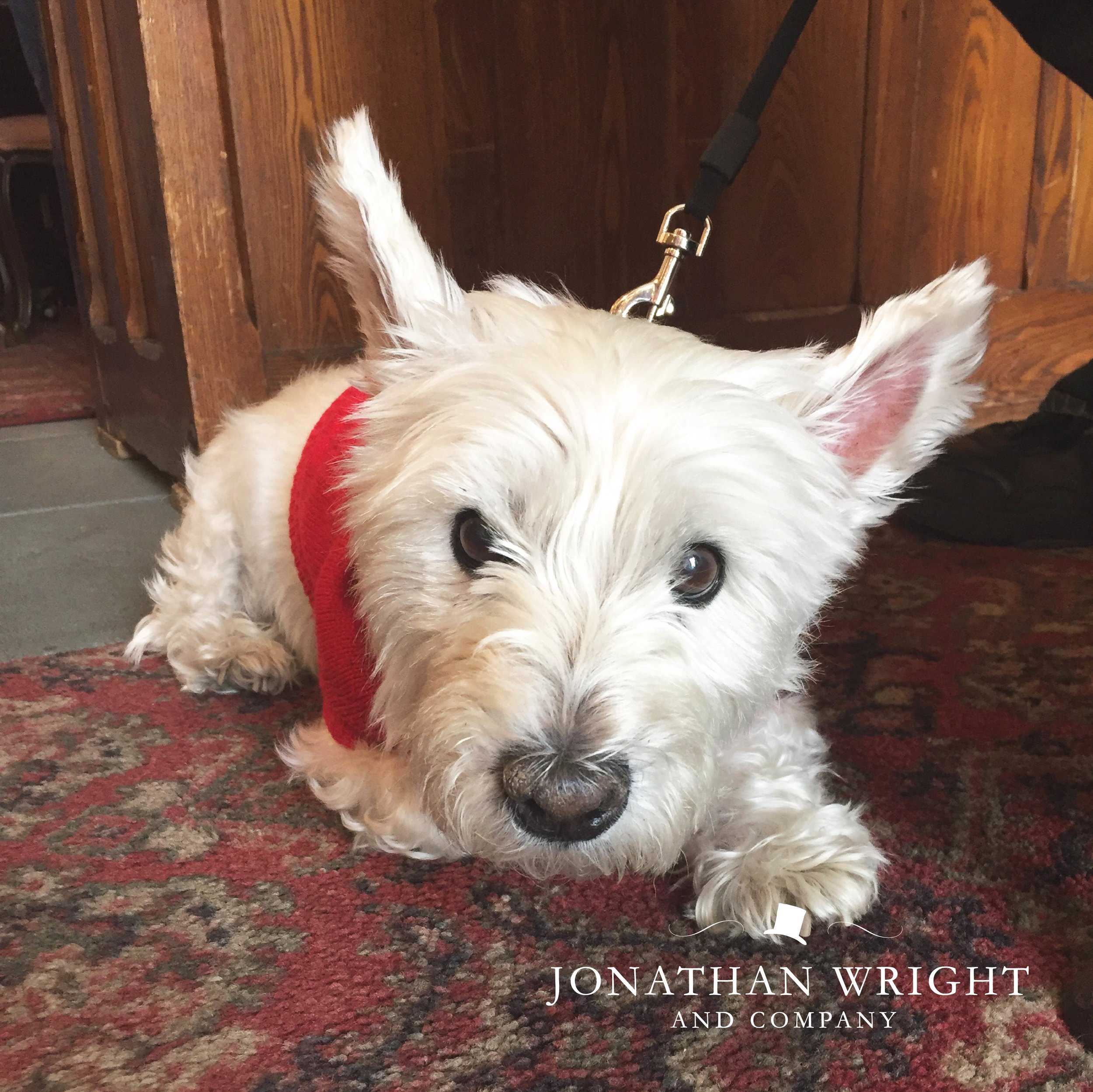 DOG IN STORE WHITE TERRIER.jpg