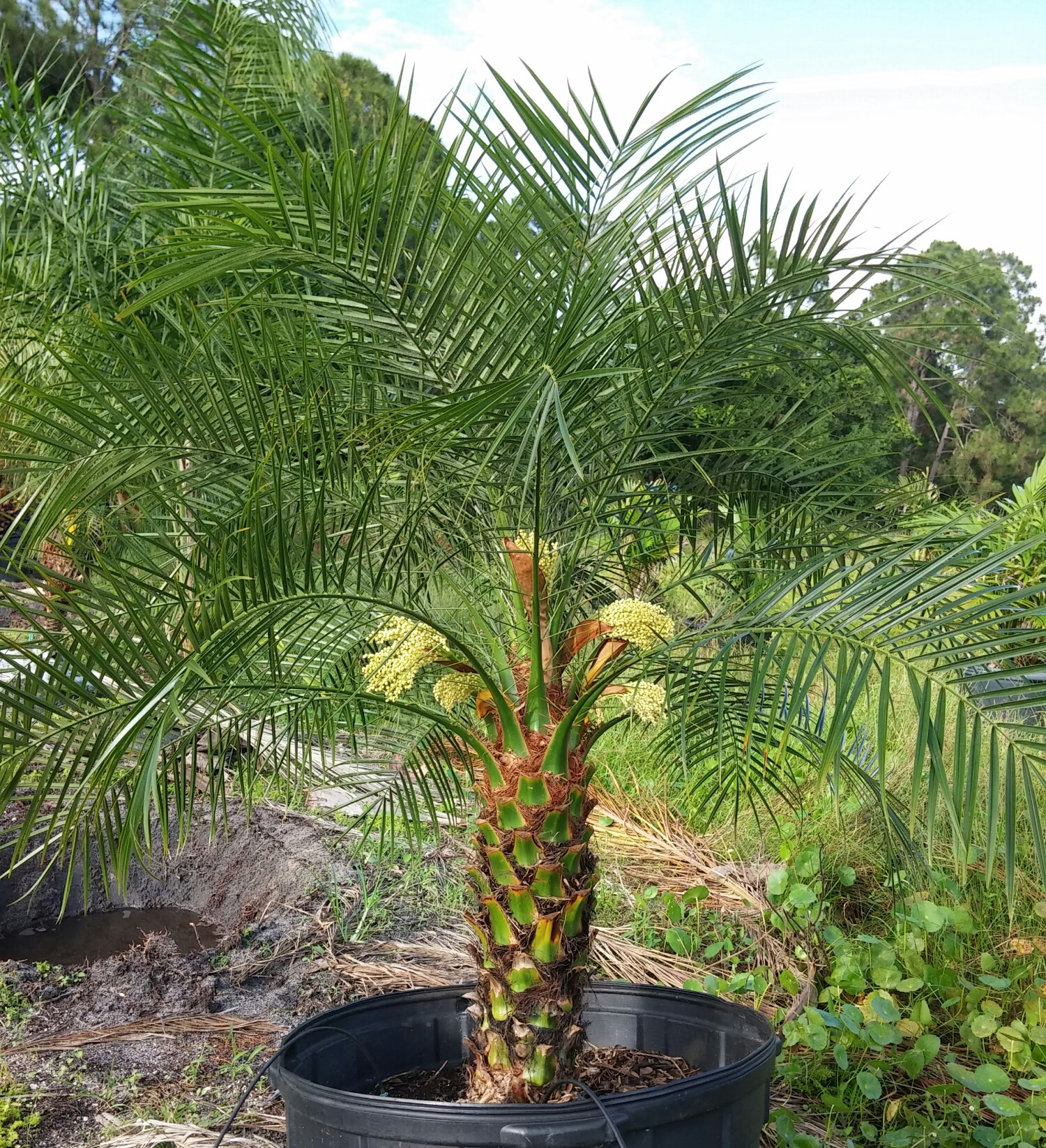 This is just about as showy as a Phoenix roebelinni (aka Pygmy Date Palm) gets.