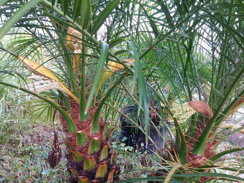 Male and female Phoenix roebelinni (Pygmy Date Palm)