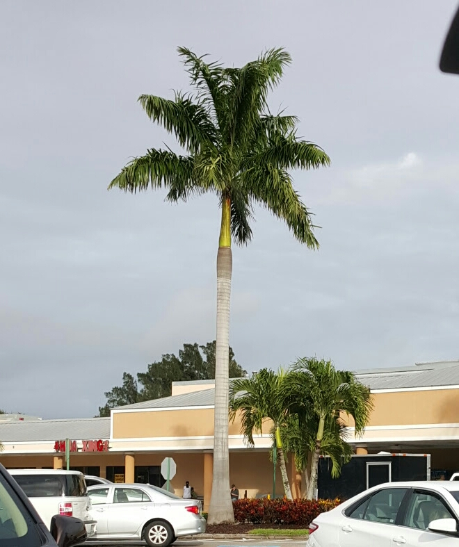 Royal Palm on the left, Adonidia (Dwarf Royal) Palms on the right.