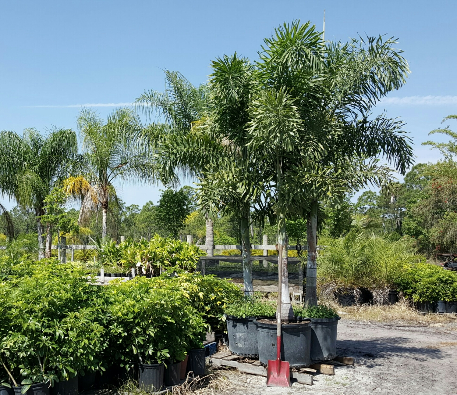 25 gallon Foxtail Palms, single trunks, about 11 feet planted overall height