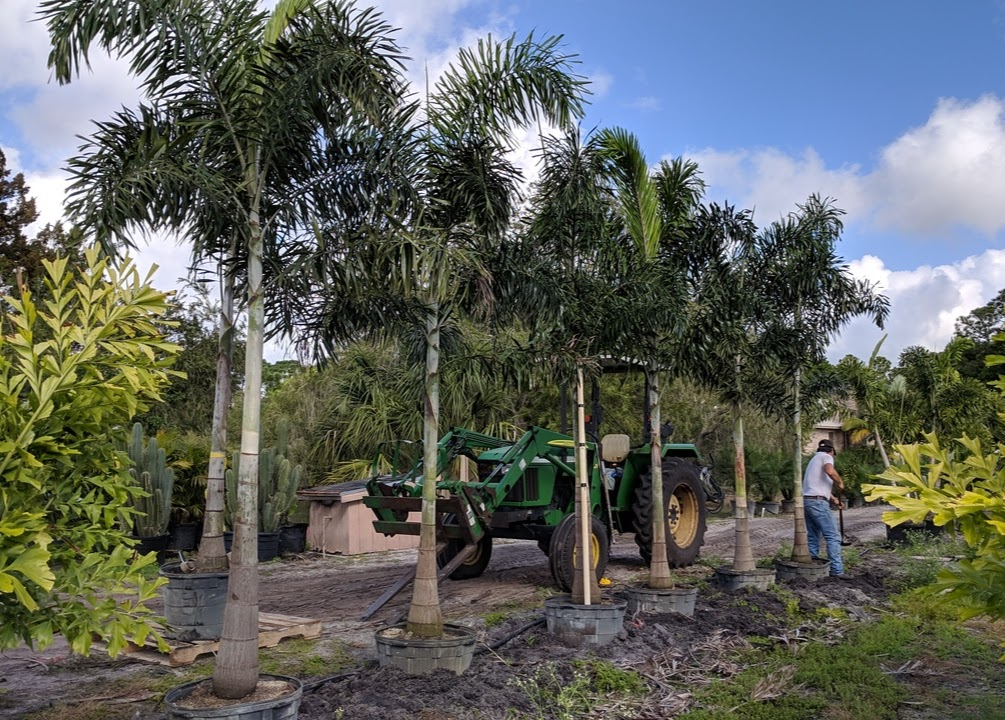 Foxtail Palms in 25 gallon containers, single trunks, 10+ feet after planting.