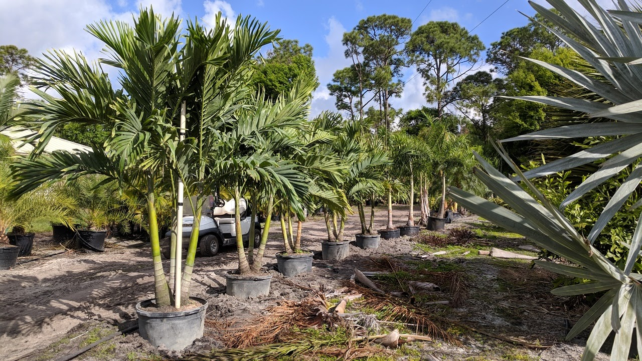 Christmas Palms (Adonidia) in 25 gallon containers, triples, about 7-8 feet planted