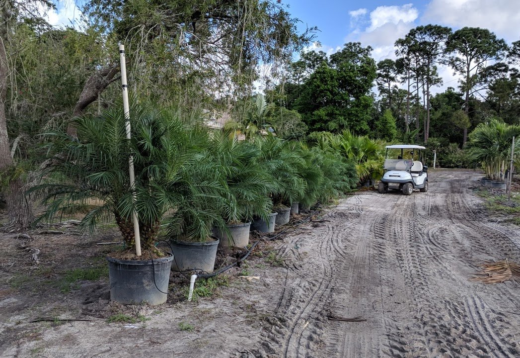 Pygmy Date Palms (Roebellini), Triples, in 25 gallon containers, about 4-4.5 feet planted