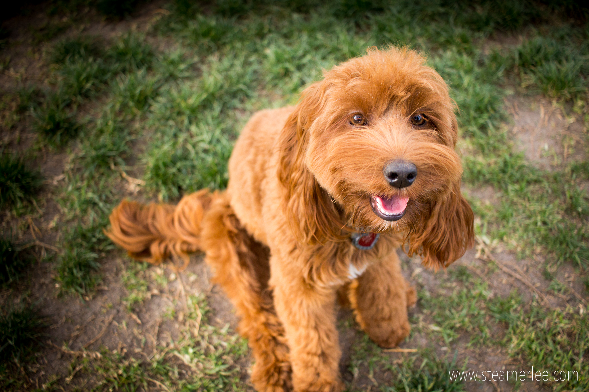 Gabby, a red labradoodle. I've never met a red labradoodle before, so I was super excited to meet Gabby.