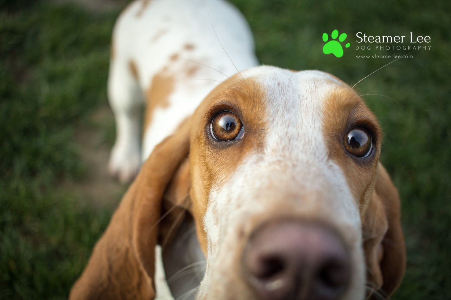 Steamer Lee Dog Photography Basset Hound.jpg