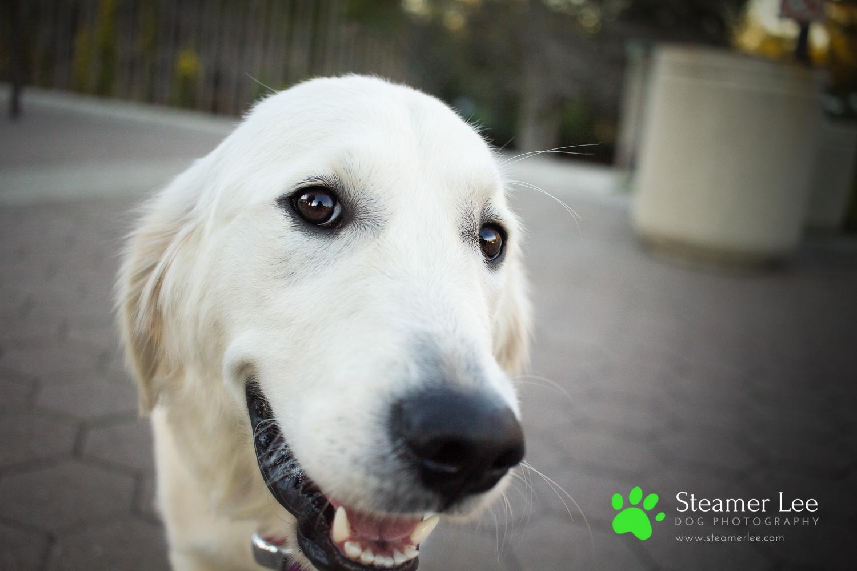 Steamer Lee Dog Photography - Ava White Golden Retriever - 4