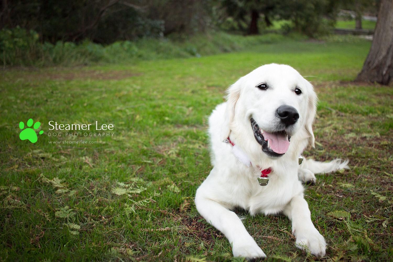 Steamer Lee Dog Photography - Ava White Golden Retriever - 5