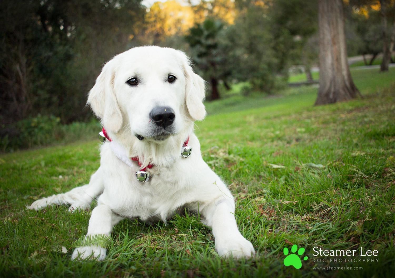 Steamer Lee Dog Photography - Ava White Golden Retriever - 6