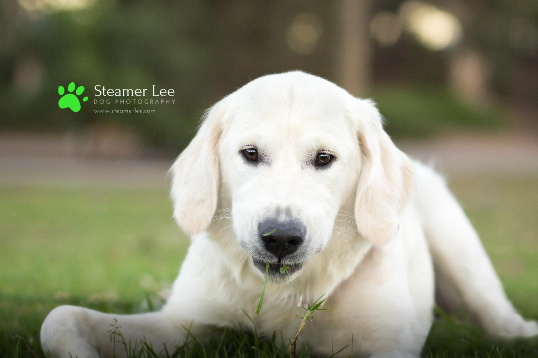 Steamer Lee Dog Photography - Ava White Golden Retriever - 16