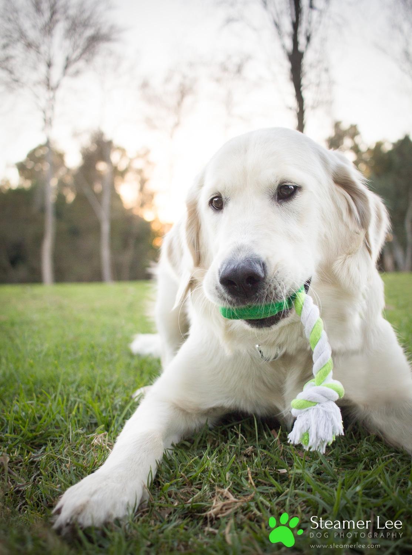 Steamer Lee Dog Photography - Ava White Golden Retriever - 10