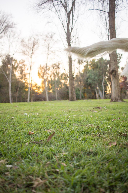 Steamer Lee Dog Photography - Ava White Golden Retriever - 11.jpg