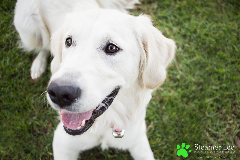 Steamer Lee Dog Photography - Ava White Golden Retriever - 7.jpg