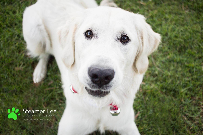 Steamer Lee Dog Photography - Ava White Golden Retriever - 17