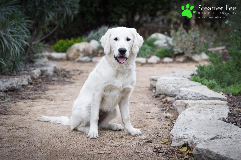 Steamer Lee Dog Photography - Ava White Golden Retriever - 12