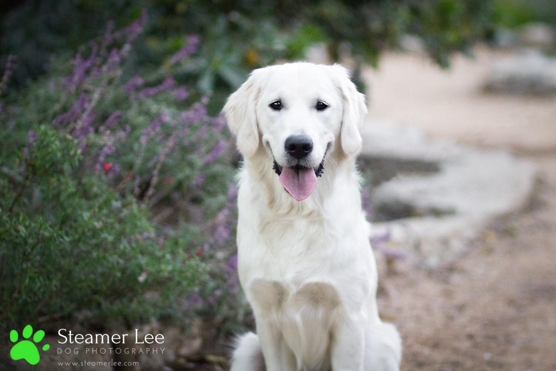 Steamer Lee Dog Photography - Ava White Golden Retriever - 14