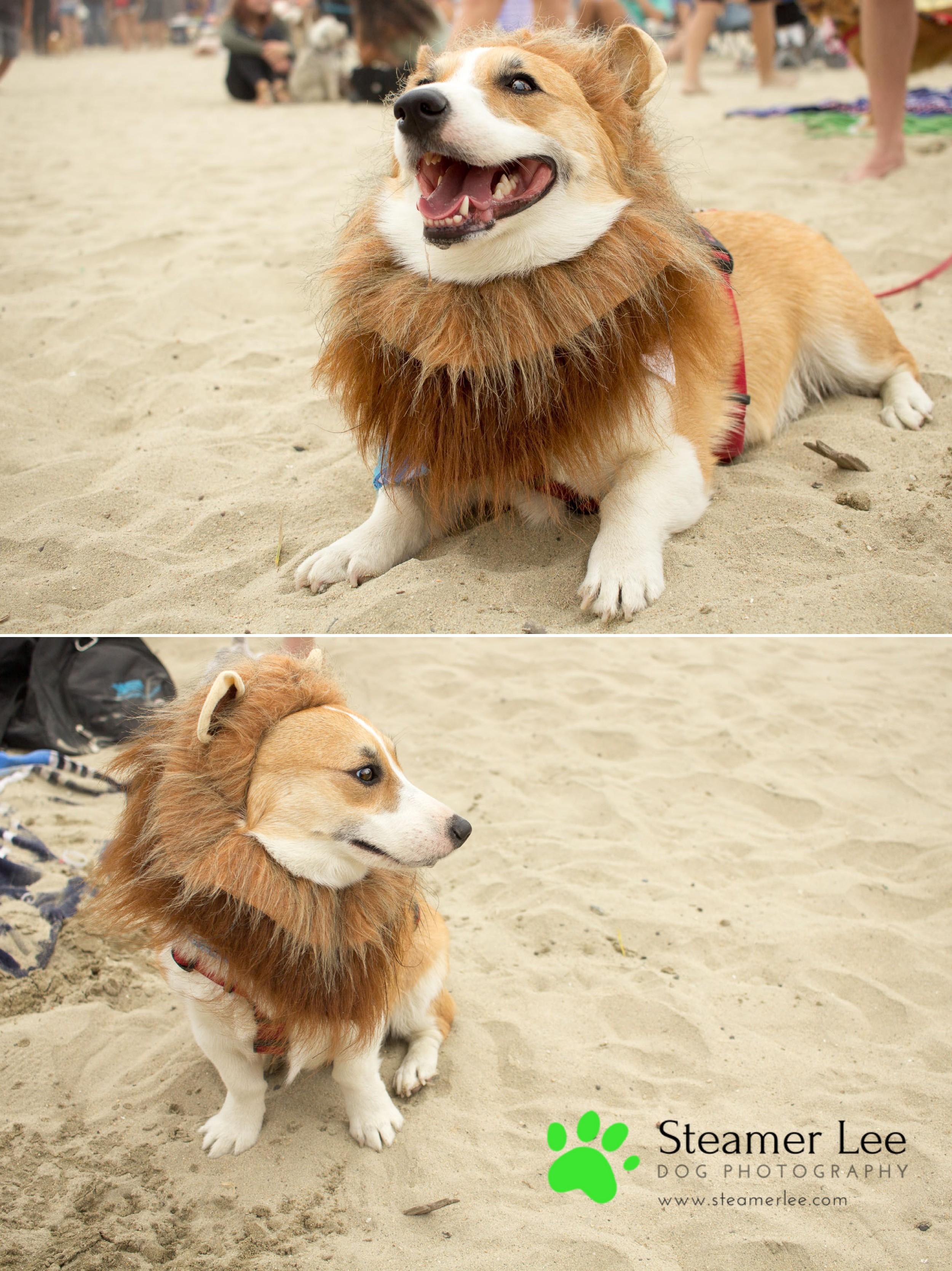 Steamer Lee Dog Photography - July 2017 So Cal Corgi Beach Day - Vol.2 - 17.jpg