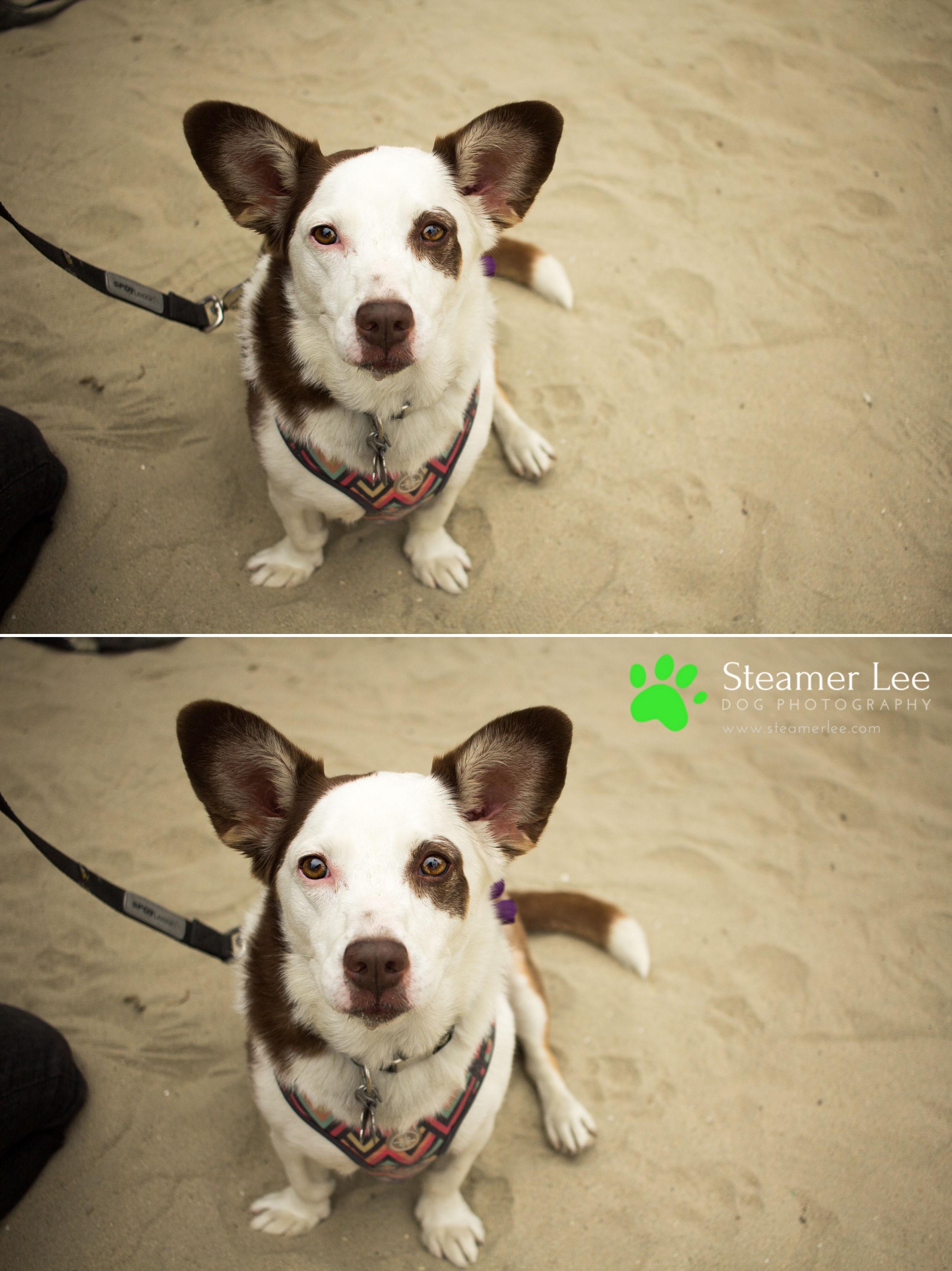 Steamer Lee Dog Photography - July 2017 So Cal Corgi Beach Day - Vol.2 - 14.jpg