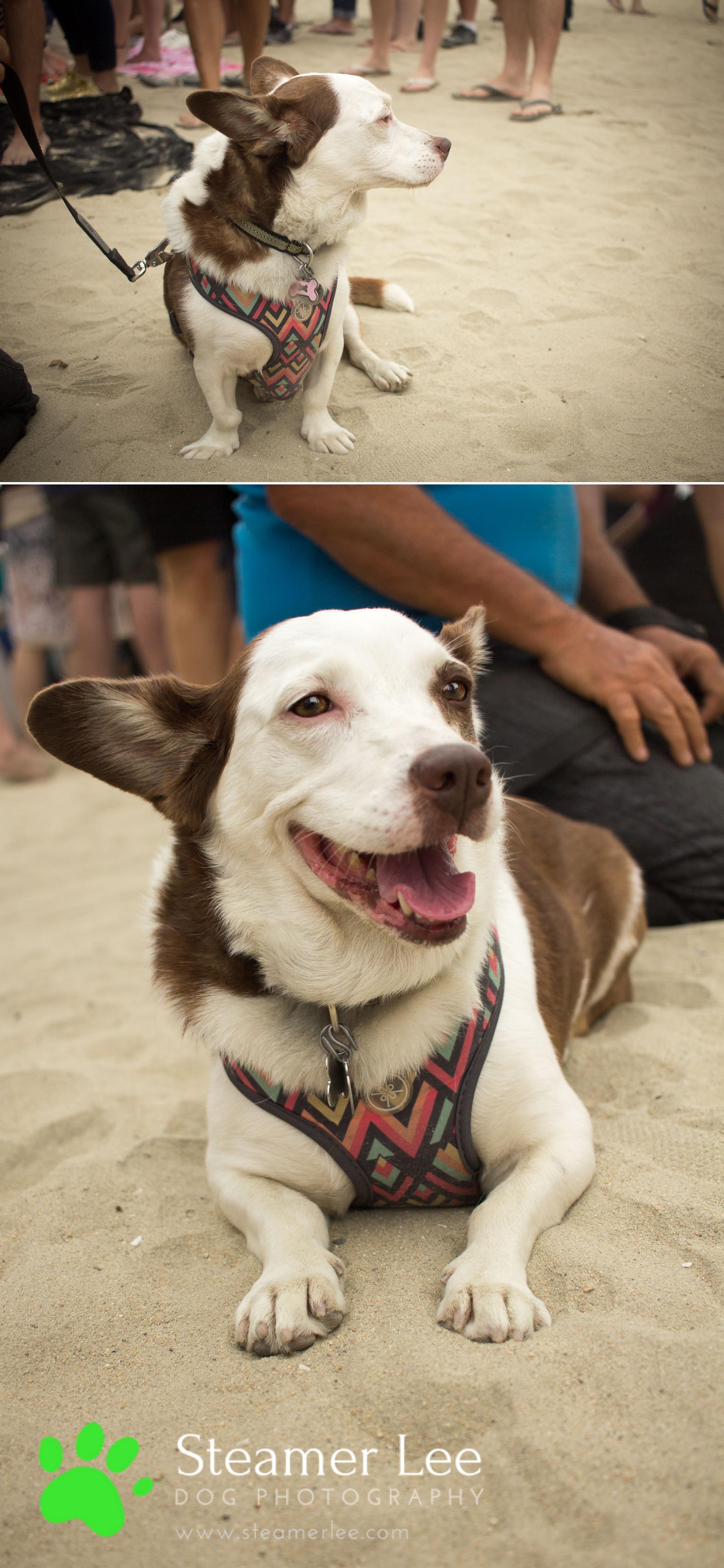 Steamer Lee Dog Photography - July 2017 So Cal Corgi Beach Day - Vol.2 - 15.jpg
