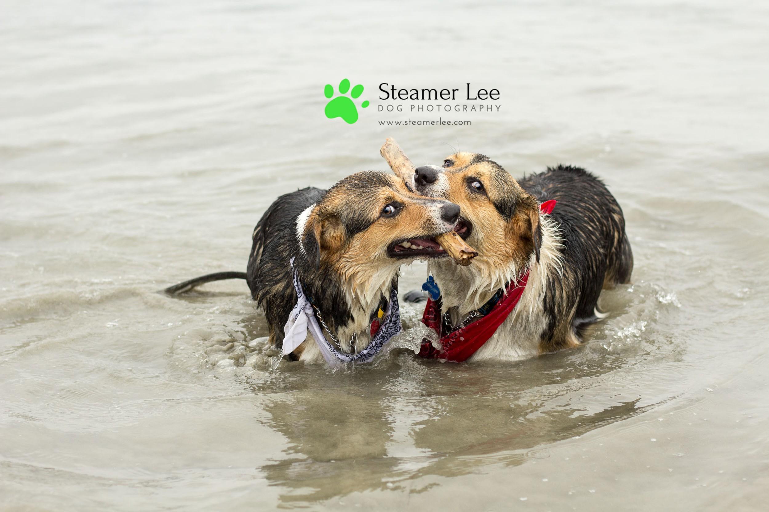Steamer Lee Dog Photography - July 2017 So Cal Corgi Beach Day - Vol.2 - 5.jpg