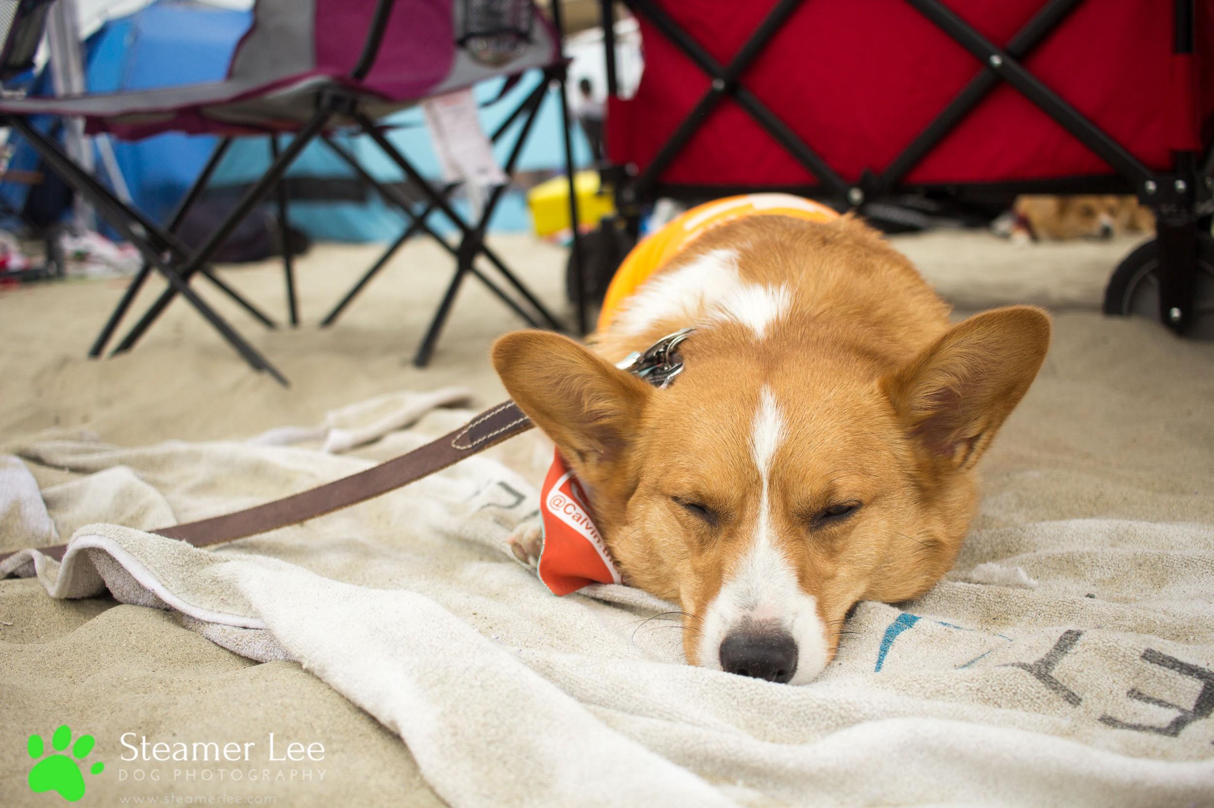 Steamer Lee Dog Photography - July 2017 So Cal Corgi Beach Day - Vol. 3 - 42.jpg