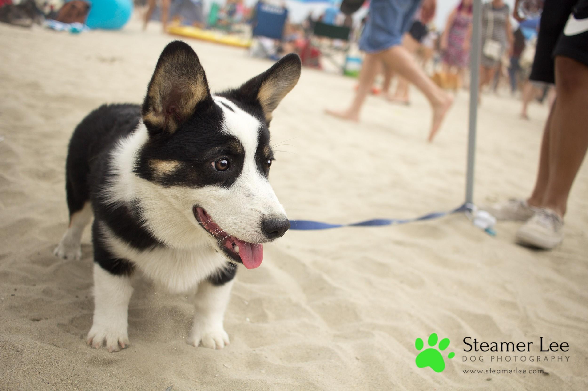 Steamer Lee Dog Photography - July 2017 So Cal Corgi Beach Day - Vol. 3 - 5.jpg