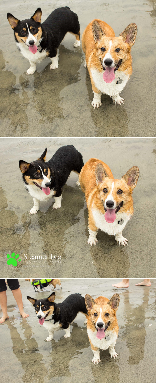 Steamer Lee Dog Photography - July 2017 So Cal Corgi Beach Day - Vol. 3 - 3.jpg