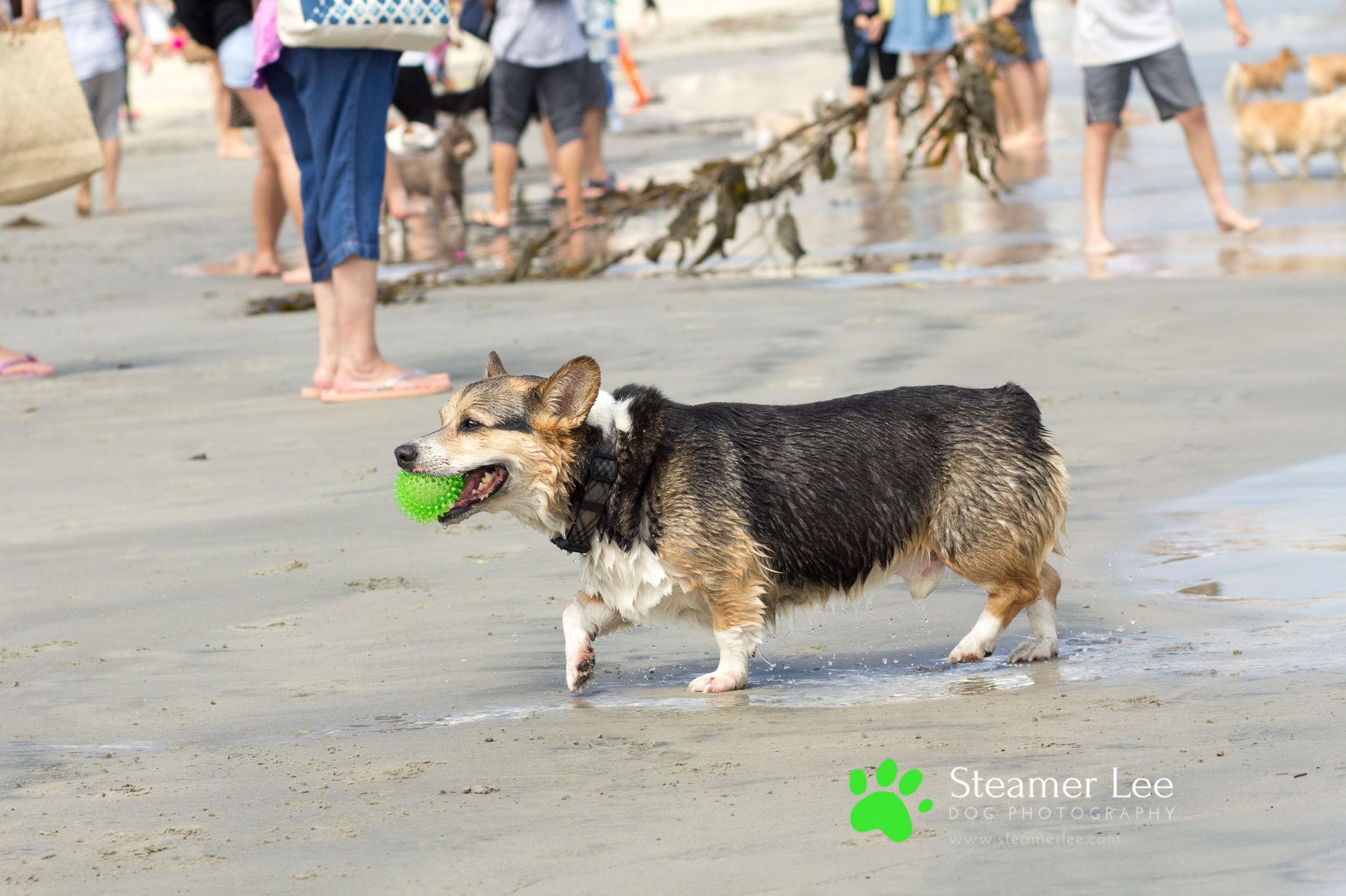 Steamer Lee Dog Photography - July 2017 So Cal Corgi Beach Day - Vol. 3 - 24.jpg