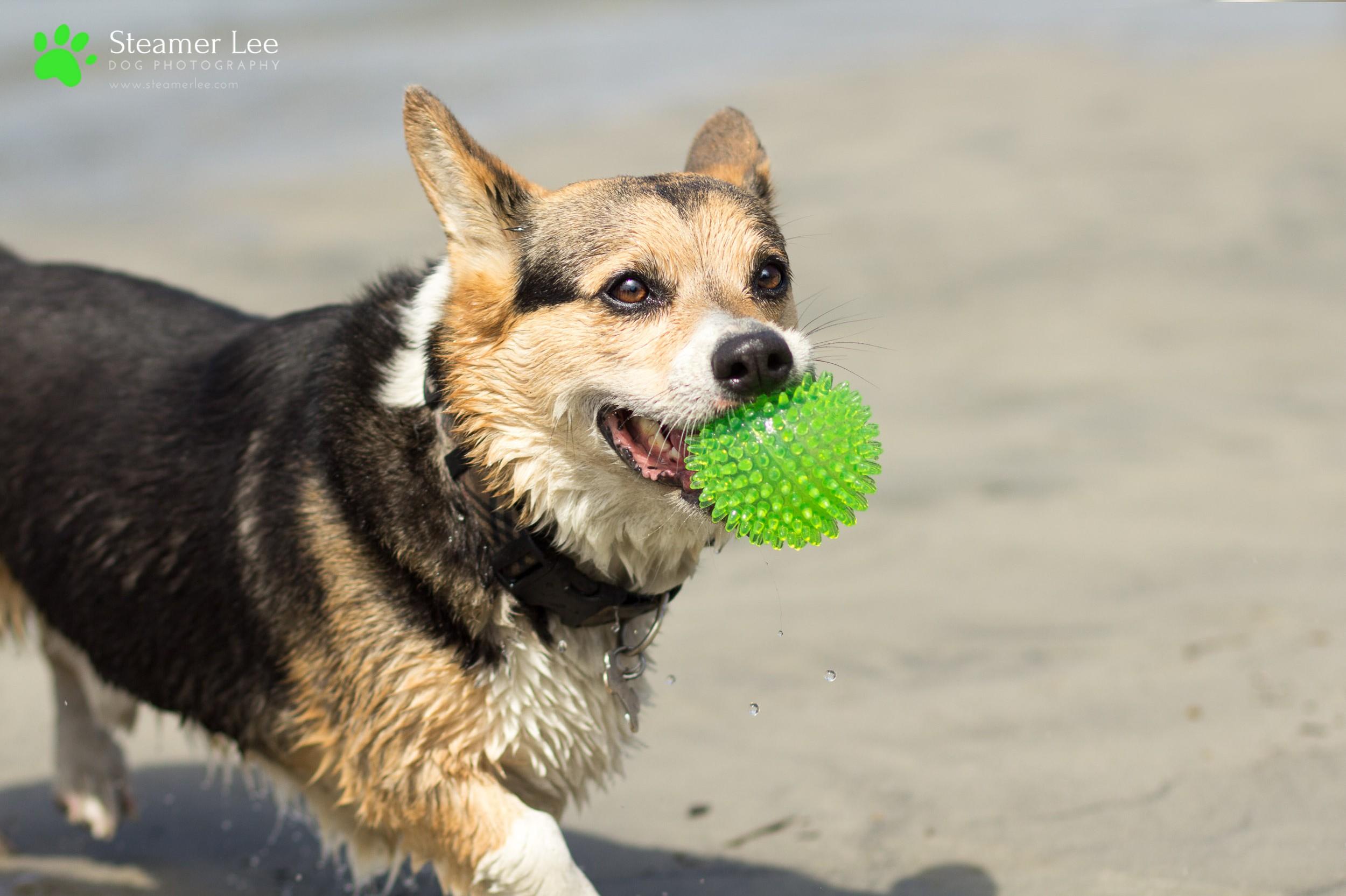 Steamer Lee Dog Photography - July 2017 So Cal Corgi Beach Day - Vol. 3 - 16.jpg