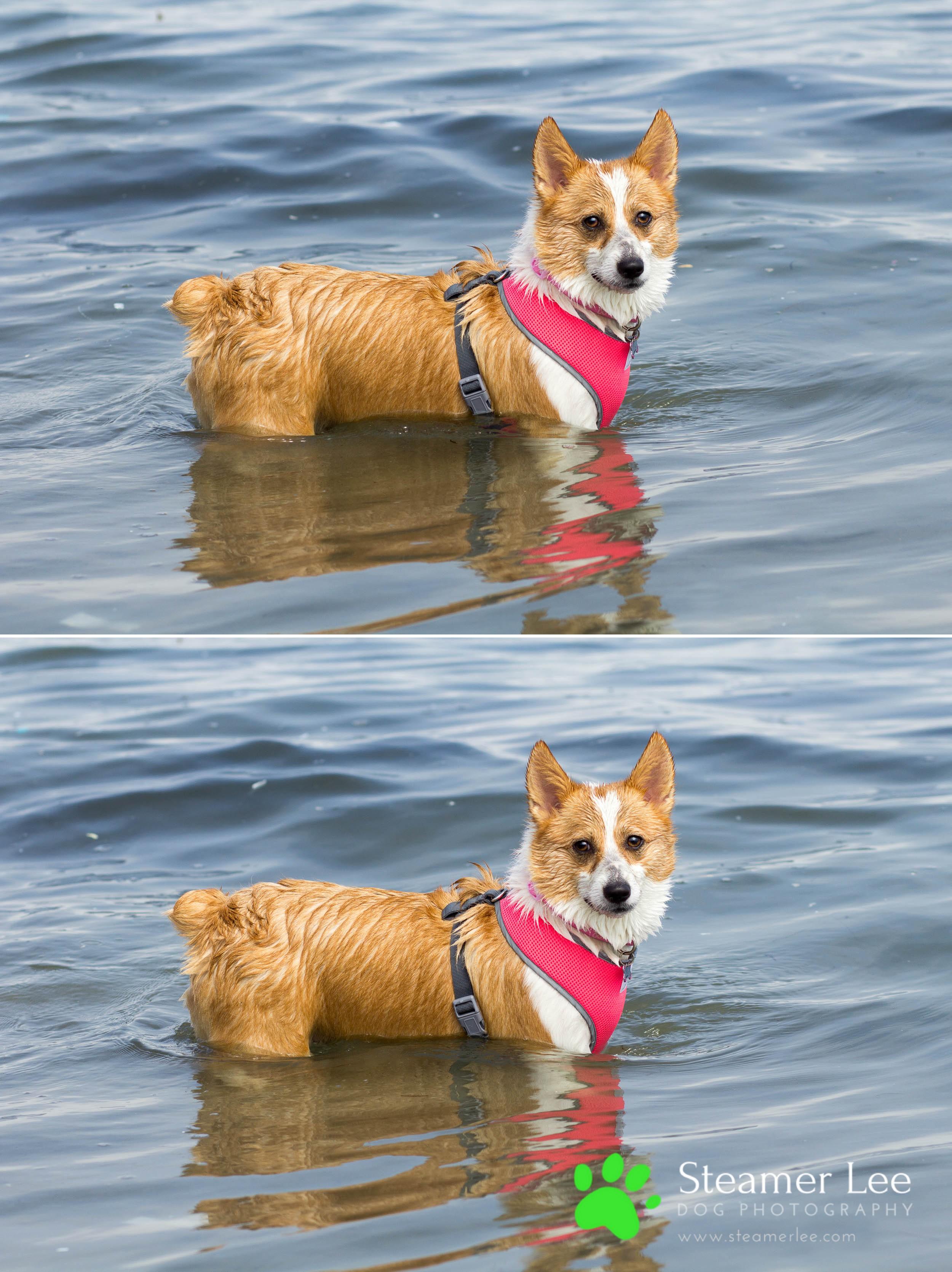 Steamer Lee Dog Photography - July 2017 So Cal Corgi Beach Day - Vol. 3 - 13.jpg